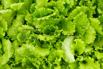 Green salad is growing in garden