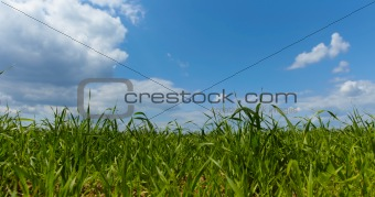 Green forage grass