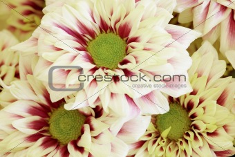Background of large flowers - Chrysanthemums