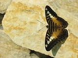 Brown Butterfly on the Stone