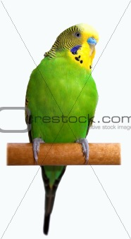 Australian Green Parrot isolated