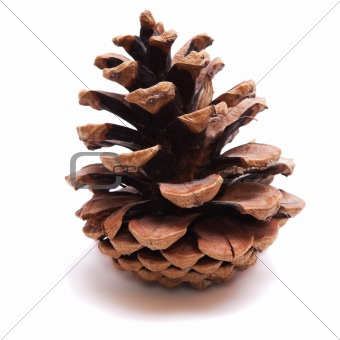 Old Dry Pinecone isolated 2