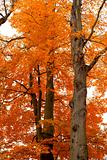 autumn tree orange scenery in park