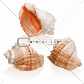 Three Orange Seashells isolated