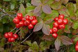 Wild inedible red berries