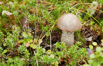 Among moss in forest mushroom growing