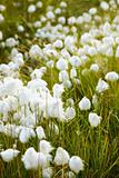 Marsh vegetation - cotton grass