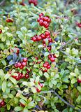 Abundantly fruiting bilberry