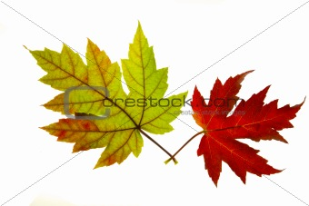 Pair of Red and Green Maple Leaves Backlit