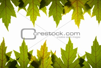Maple Leaves Green with Red Veins Backlit