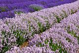Lavander