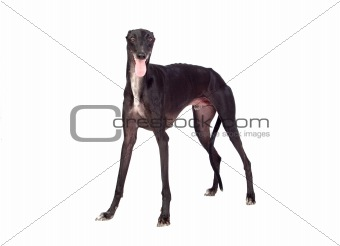 Greyhound breed dog