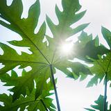 sunlight on papaya leaf