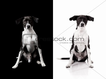 Back or White Dog