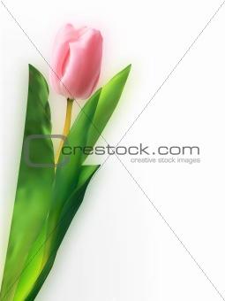 Pink tulip flower.