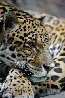 Portrait of jaguar