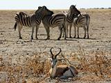 Zebras and Impala