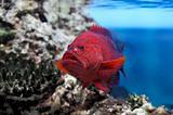 Red groper (Cephalopholis miniata)