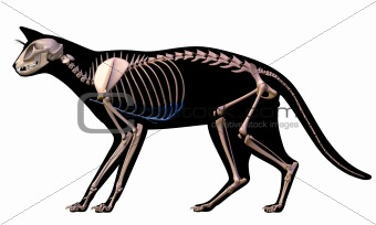 Skeleton of a cat.