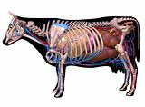 Anatomy of a cow.