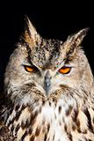 Royal owl - Bubo Bubo