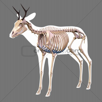 The skeleton of a deer.