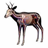 Anatomy of a deer