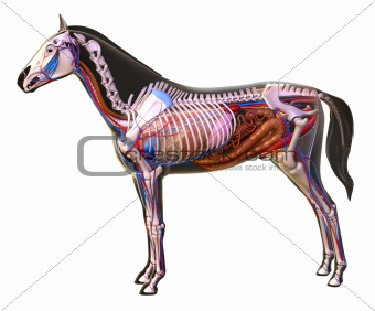 Anatomy of a horse.