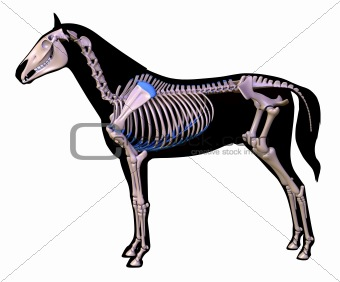Skeleton of a horse.