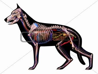 Anatomy of a German Shepherd.