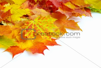 autumn maple leafs