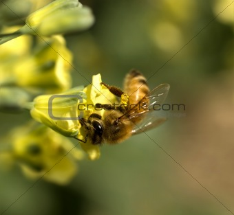 bee collecting pollen from yellow spring flower of broccoli