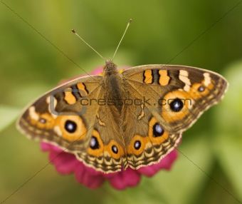 Australian butterfly Meadow argus Junonia villida brown