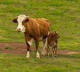 Australian beef cattle breed  cow and brahman cross calf