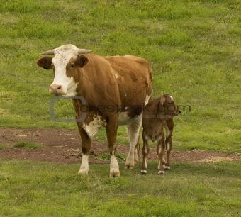 Australian beef cattle breed  cow and brahman cross calf