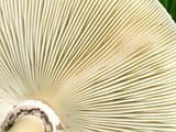 underside gills of mushroom fungi texture