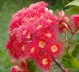 eucalyptus summer red australian native