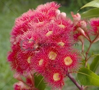 eucalyptus summer red australian native