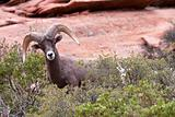 Bighorn Ram Sheep