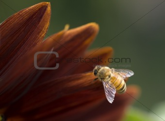 european honey bee on flower petal