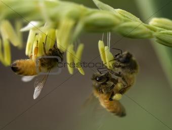 honey bees on corn flower working