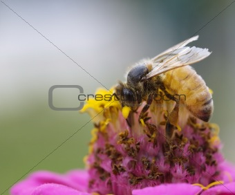 busy bee autumn worker on pink and yellow flower