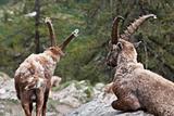 Capra Ibex - Italian Alps