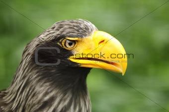 Portrait of Steller's Sea Eagle