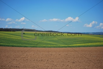 Oil-seed field in spring