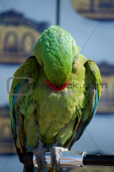 Green and Bue Parrot