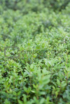 Green sheet of the cowberry