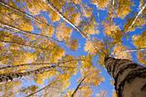 Yellow  birches