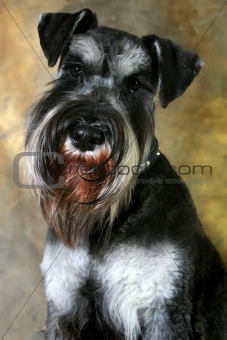 Groomed Schnauzer Portrait