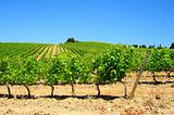 Vineyard In The Chianti